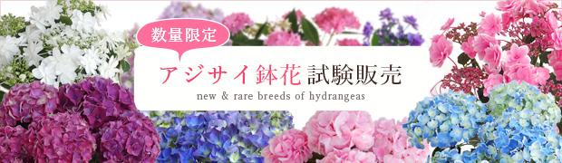 季節の特集:アジサイ鉢花試験販売