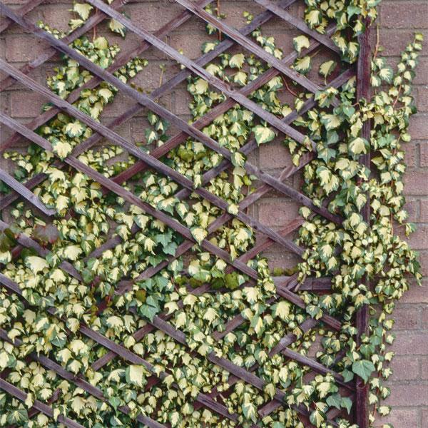 すべての講義 緑 黄色 : おためし4種12株セット:壁面緑化用ヘデラ:草花の苗 ...