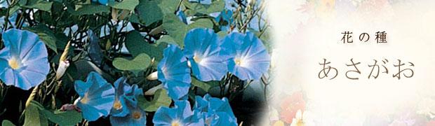 種(タネ):花の種 あさがお