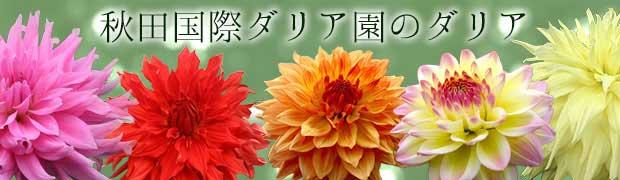 ブランド:秋田国際ダリア園のダリア
