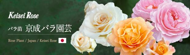 ブランド:バラ苗 京成バラ園芸
