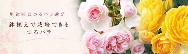 用途別につるバラ選び:鉢植えで栽培できるつるバラ