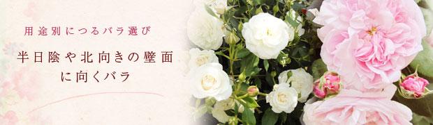 用途別につるバラ選び:半日陰や北向きの壁面に向くバラ