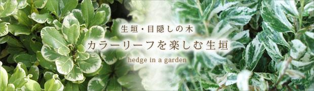 生垣・目隠しの木:カラーリーフを楽しむ生垣
