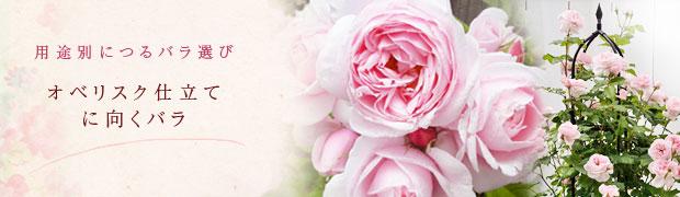 用途別につるバラ選び:オベリスク仕立てに向くバラ