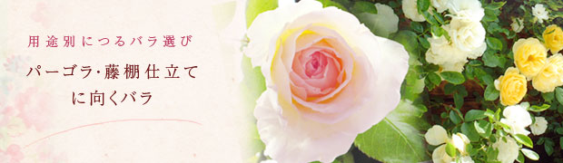 用途別につるバラ選び:パーゴラ・藤棚仕立てに向くバラ