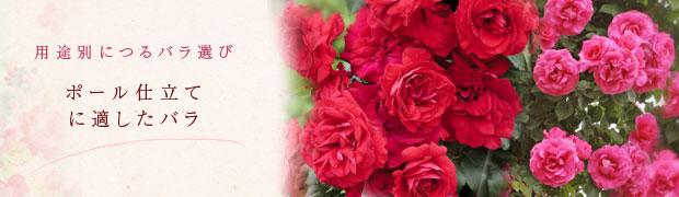 用途別につるバラ選び:ポール仕立てに適したバラ