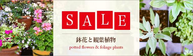 セール:鉢花と観葉植物