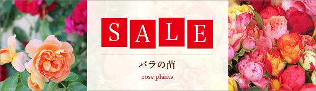 セール:バラの苗