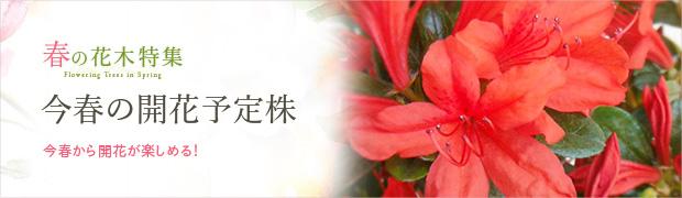 春の花木特集:今春の開花予定株