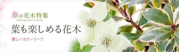春の花木特集:葉も楽しめる花木(カラーリーフ)