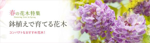 春の花木特集:鉢植えで育てる花木