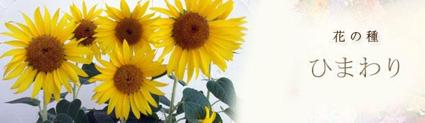 種(タネ):花の種 ひまわり