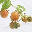 木いちご(キイチゴ):ラズベリー ファールゴールド4〜5号ポット