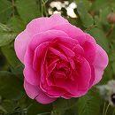 イングリッシュローズ:ガートルード・ジェキル大苗5号角鉢植え
