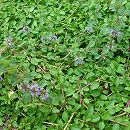 [ペットの虫よけやグランドカバーに 3〜11月まき(周年も可能)ハーブのタネ]ペニーロイヤルミントの種