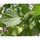 [葉は韓国料理や焼肉のお供に・実はえごま味噌やゴマ同様に利用できる 5〜7月まき 野菜タネ]えごま