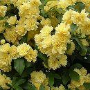 モッコウバラ:黄花八重咲き3号ポット