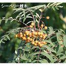 シーベリー(沙棘・サジー):受粉用オス木3〜3.5号ポット