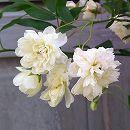 モッコウバラ:白花八重5号鉢植えあんどん仕立て(シロモッコウ)