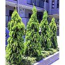 タチコノテ(コノテガシワ):エレガンティシマ樹高1.5m根巻き