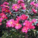 寒椿(カンツバキ):タチカン樹高1.5m根巻き