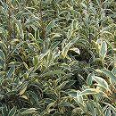 サカキ:斑入りサカキ樹高1.2m根巻き苗