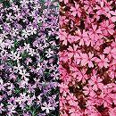 芝桜(シバザクラ):2色4株セット(ダニエルクッション2株とエメラルドクッションブルー2株)