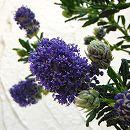 セアノサス:青花6号鉢植え