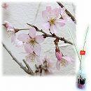 桜の苗木ギフト:啓翁(ケイオウ)桜・「お誕生日おめでとう」カード付