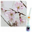 桜の苗木ギフト:啓翁(ケイオウ)桜・「特別なあなたへ」カード付