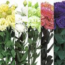 トルコキキョウ:フリル咲き花色ミックス3号ポット28株セット