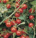 [野菜タネ]トマト:ワイルドチェリートマト