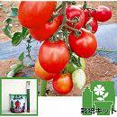 [17年4月中旬予約]トマトのかんたん栽培セット:ボンリッシュ3号ポット