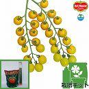 [17年4月中旬予約]トマトのかんたん栽培セット:フルーツイエローEX
