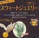 食用ホオズキ:スウィートジュエリービッグオレンジ3号ポット 2株セット