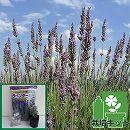 ラベンダー(ラバンティン系):グロッソ3号ポット1株と土と肥料のセット