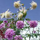 皇帝ダリア(八重咲き):ホワイトとピンク3.5号ポット2種セット