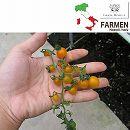 [17年4月中旬予約]生食用イタリアントマト無農薬シリーズ:イタリアンマイクロゴールド3.5号ポット12株セット