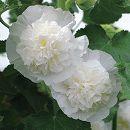 アルセア(タチアオイ):チャターズ ホワイト3.5号ポット 2株セット