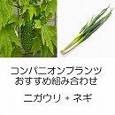 コンパニオンプランツ栽培セット:あばしゴーヤ(苦瓜・ニガウリ)とネギ:九条太ねぎ