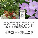 コンパニオンプランツ栽培セット:四季なりいちご夏姫とランドスケープペチュニアさくらさくら