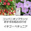 コンパニオンプランツ栽培セット:イチゴ:四季なりいちご紅茜とランドスケープペチュニア:さくらさくら