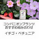 コンパニオンプランツ栽培セット:イチゴ:四季なりいちご桃娘とランドスケープペチュニア:さくらさくら