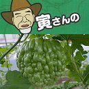 寅さんのアップルゴーヤ(緑秀)3号ポット 2株セット