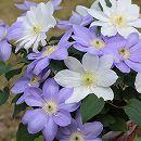 クレマチス:2色咲き(パストラーレ&北浜)6号鉢(大輪系)【開花終了株】