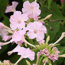 2段咲きオシロイバナ:微笑みがえしライトピンク3号ポット