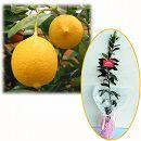 苗木ギフト:レモン:リスボンレモン「お誕生日おめでとうございます」カード付