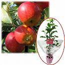 苗木ギフト:リンゴ:アルプス乙女「おめでとうございます」カード付