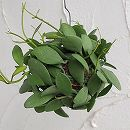 ディスキディア:アルビダ(緑葉)玉仕立て・吊りタイプ